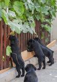 Standard schnauzer puppies Royalty Free Stock Photo