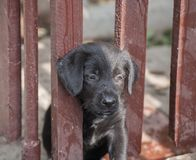Standard schnauzer puppies Royalty Free Stock Images