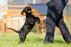 Standard schnauzer puppy has fun in the garden Royalty Free Stock Photos