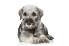 Standard schnauzer puppy on white Stock Photography