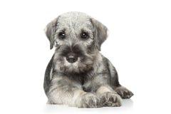 Standard schnauzer puppy on white stock photography