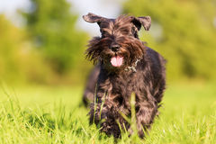 Standard schnauzer runs on the meadow. Standard schnauzer dog is running on the meadow stock photo