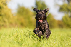 Standard schnauzer runs on the meadow. Standard schnauzer dog is running on the meadow stock photos