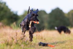 Standard schnauzer runs with a treat bag in the snout Royalty Free Stock Images