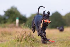 Standard schnauzer runs with a treat bag in the snout Stock Photography
