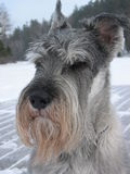 Standard Schnauzer in winter Stock Image