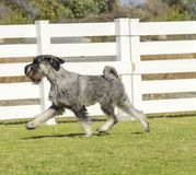 Standard Schnauzer Royalty Free Stock Photo