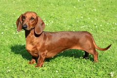 Standard smooth-haired dachshund Royalty Free Stock Image