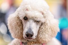Standard White Poodle At Country Dog Show. A standard white poodle competing at a country dog show Stock Photography