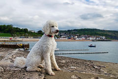 Standard White Poodle Royalty Free Stock Image