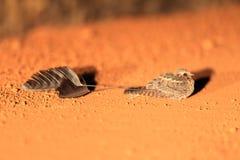 Standard-winged Nightjar Royalty Free Stock Image