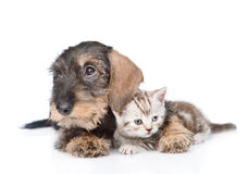 Standard wirehaired dachshund puppy embracing tiny kitten. isolated on white Royalty Free Stock Images