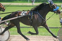 Standardbred Fotografia Stock
