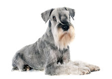 Standardowy schnauzer obraz stock