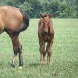 Standardowy spłodzony koń i źrebię zdjęcia royalty free