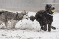 Standardpudel gejagt durch Schlittenhund im Schneesturm lizenzfreies stockfoto