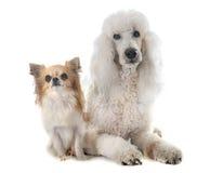 Standardpudel und Chihuahua stockfoto