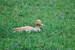 Standbeeld van gele eenden op het gazon royalty-vrije stock foto