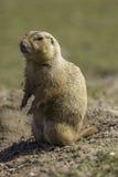 Standi con coda nera di ludovicianus del Cynomys della marmotta o della marmotta Fotografia Stock