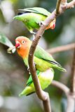 Standi giallo variopinto di solstitialis di Aratinga di conuro di Sun del pappagallo Immagine Stock Libera da Diritti