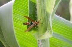 Wasp On Mays royalty free stock photos