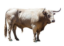 Standing adult bull Stock Image