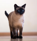 Standing adult Siamese cat Stock Images