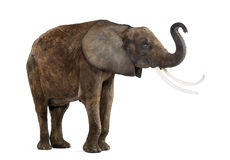 Standing African elephant lifting its trunk, isolated Royalty Free Stock Photos