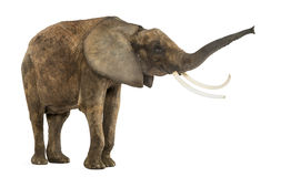 Standing African elephant lifting its trunk, isolated Stock Photo