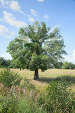 Standing alone tree - oak with beams in crone Stock Photo