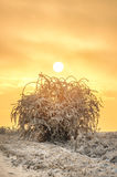 Standing alone on the white snow bush in sunset light, the setting sun royalty free stock photos