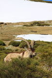 Standing alpine ibex Stock Image
