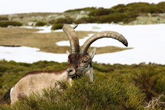 Standing alpine ibex Royalty Free Stock Photo