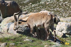 Standing alpine ibex Stock Photography