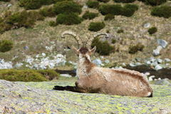 Standing alpine ibex Royalty Free Stock Photos