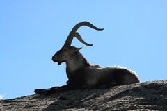Standing alpine ibex Stock Images
