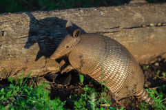 Standing armadillo watching beside a fallen tree trunk On the ground some green plants. Royalty Free Stock Photos