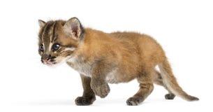 Standing Asian golden cat, Pardofelis temminckii, 4 weeks old Royalty Free Stock Image