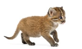 Standing Asian golden cat, Pardofelis temminckii, 4 weeks old royalty free stock images