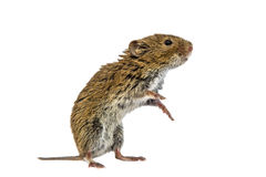 Standing Bank vole on white background Royalty Free Stock Photos