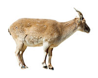 Standing barbary sheep over white background Royalty Free Stock Images
