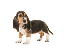 Standing basset artesien normand puppy seen from the side looking back Stock Photography