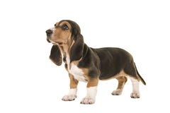 Standing basset artesien normand puppy seen from the side looking up Royalty Free Stock Photos