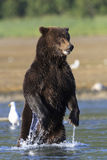 Standing Bear. Brown bear standing on back legs Royalty Free Stock Photography