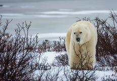 Standing Bear Stock Photos