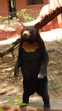 Standing Bear. Found in Nehru Zoological Park at Hyderabad, India Royalty Free Stock Photography