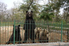 Standing bear and other bears in the zoo Stock Image