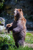 Standing bear. In the wild Royalty Free Stock Images