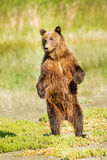 Standing Bear. Young Alaskan Coastal Brown Bear aka Grizzly Bear Standing Erect Against Light Green Background Royalty Free Stock Photo