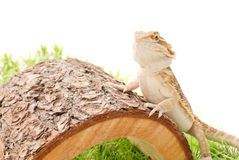 Standing Bearded Dragon Stock Image